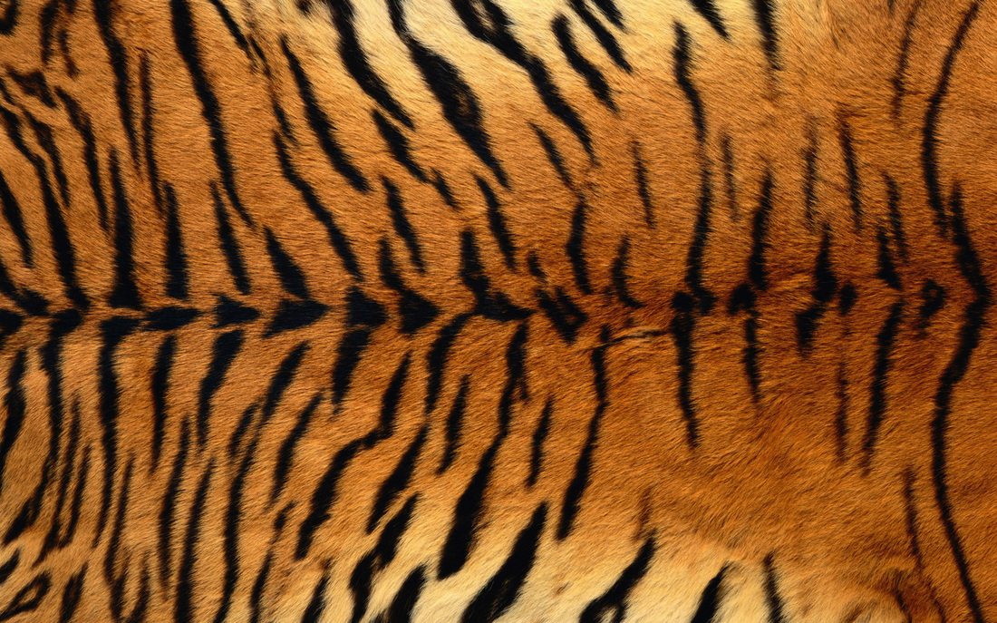 how there skin helps them tigers